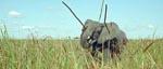 Én af filmens barske jagtscener - her nedlægges en elefant med spyd