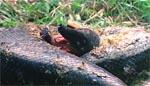 Det første dyr må lade livet: et lille pelsdyr ofres til en kvælerslange