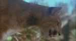 En puma på lur.