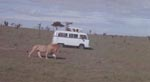 På safari i Afrika