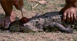Et af de desværre ganske mange ægte dyredrab, der i nogen grad skæmmer filmen.
